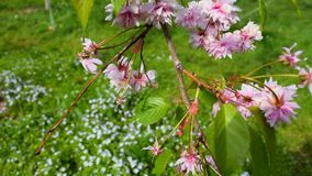 Pink east cherry blooms stock footage