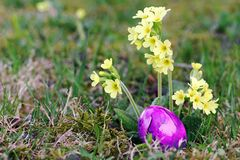 A pink Easter egg between yellow primroses in the meadow stock images