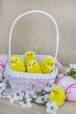 Pink  easter eggs in white basket with  cherry flowers and easter chickens Stock Image