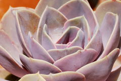 Pink Echeveria. Detail of a pink Echeveria succulent plant stock photography