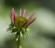 Pink Echinacea Coneflower Bud Opening Stock Image