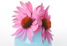 Pink Echinacea coneflower head Royalty Free Stock Image
