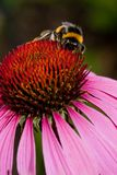 Pink Echinacea flower Royalty Free Stock Image