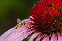 Pink Echinacea flower Stock Images