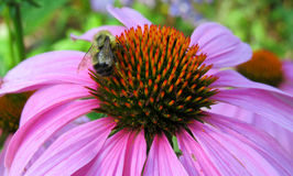 Pink Echinacea Flower and Bee Stock Images