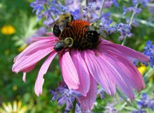 Pink Echinacea Flower and Bees Royalty Free Stock Photo