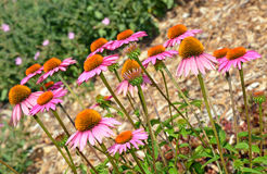 Pink echinacea flower garden Royalty Free Stock Photo
