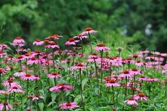 Pink echinacea Stock Image