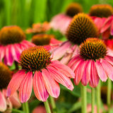 Pink Echinacea flowers in bloom Stock Photography