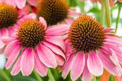 Pink Echinacea flowers in bloom Royalty Free Stock Image