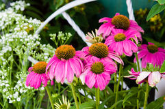 Pink Echinacea flowers in a garden Royalty Free Stock Photography