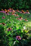 Pink Echinacea flowers on green nature background Stock Photography