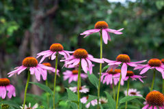 Pink Echinacea flowers on green nature background Stock Photos