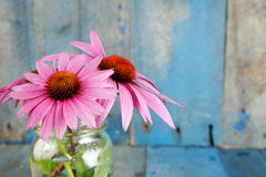 Pink echinacea flowers in jarover blue background Stock Photos