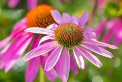 Pink Echinacea Flowers Stock Photography