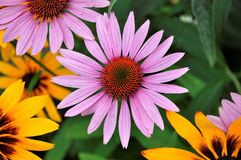 Pink Echinacea purpurea flower from my backyard. With some sunny flower stock photography