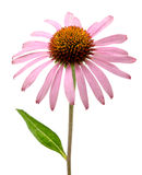 Pink Echinacea purpurea flower Royalty Free Stock Photos