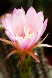 Pink Echinocereus flower royalty free stock images