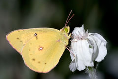 Pink Edged Sulphur Stock Photos