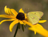 Pink-edged Sulphur Butterfly Stock Images