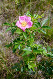 Pink Eglantine Flower. A nice rosa rubiginosa, also known as briar rose, dog-rose, sweet briar, sweetbriar rose, sweet brier, rose hiporeglantine, under the Royalty Free Stock Image