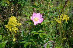 Pink Eglantine Flower. A nice rosa rubiginosa, also known as briar rose, dog-rose, sweet briar, sweetbriar rose, sweet brier, rose hiporeglantine, under the Royalty Free Stock Photos