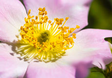 Pink Eglantine Stock Photo