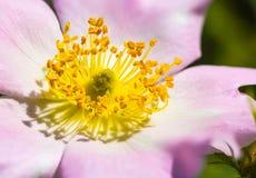Pink Eglantine. A nice pink briar rose under the warm spring sun Stock Photo