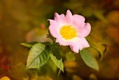 Pink Eglantine. A nice pink briar rose under the warm spring sun Stock Images
