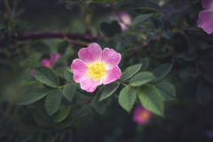 Pink eglantine rose. Growing in forest. Background Royalty Free Stock Photos