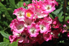 Pink eglantine roses in a garden. Close-up of pink eglantine roses in a garden Royalty Free Stock Photos