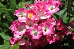 Pink eglantine roses in a garden Royalty Free Stock Photos