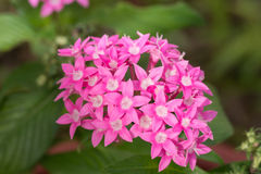 Pink Egyptian Star Cluster flowers Royalty Free Stock Photos