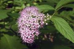 Pink elderberry flowers. Against the background of blurry green leaves Royalty Free Stock Image
