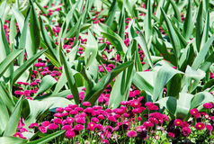 Pink English daisies - Bellis perennis – with big green leaves. Pink English daisies - Bellis perennis - with big green leaves in spring park. Seasonal Stock Photos