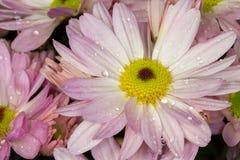 Pink English daisies (Bellis Perennis). Pink English daisies iBellis Perennis), with water drops Royalty Free Stock Photography