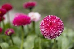 Pink English daisies - Bellis perennis. Spring Flowers. Pink English daisies - Bellis perennis. Spring Flowers Royalty Free Stock Photos