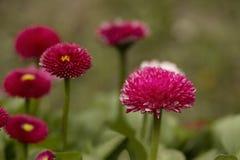 Pink English daisies - Bellis perennis. Spring Flowers. Pink English daisies - Bellis perennis. Spring Flowers Stock Image