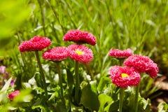 Pink English daisies - Bellis perennis - in spring garden. Bellasima rose. royalty free stock image