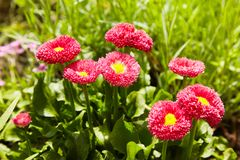Pink English daisies - Bellis perennis - in spring garden. Bellasima rose. royalty free stock images