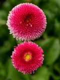 Pink English daisies - Bellis perennis - in spring park. Detaile. English daisy or bellis perennis plant with colorful pink and white flowers macro closeup Royalty Free Stock Images