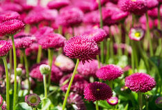 Pink English daisies - Bellis perennis - in spring park, detaile. Pink English daisies - Bellis perennis - in spring park. Detailed seasonal natural scene Royalty Free Stock Images