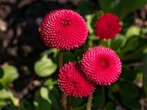 Pink English daisies - Bellis perennis in spring park. Detailed seasonal natural scene royalty free stock photo