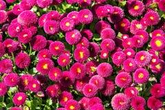 Pink English daisies - Bellis perennis - in spring park, seasona. Pink English daisies - Bellis perennis - in spring park. Seasonal natural scene. Bellasima rose Royalty Free Stock Image