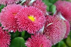 Pink English daisy. Closeup. Beautiful pink English daisy. Closeup. Macro. Holland Park. West London. UK Stock Image