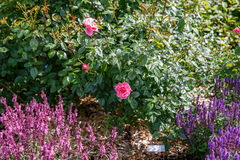 Pink English rose shrub on pink and purple salvia background in garden on suuny day Stock Images
