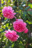 Pink English roses. Royalty Free Stock Photo