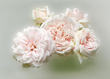 Pink english roses Royalty Free Stock Images