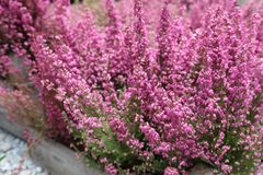 Pink Erica gracilis flowering plant family Ericaceae in the garden shop. Horizontal. Daylight. Close-up royalty free stock photos