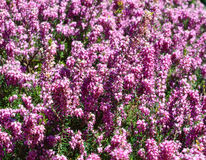 Pink Erica Stock Images